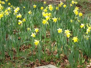 Daffodils6