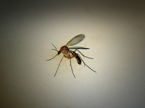 Tiny Unknown..now identified as a fungus gnat... | by Sea Moon