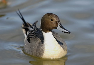 Northern Pintail | by brendan.lally....away
