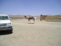 Afghan Camel | by rybolov