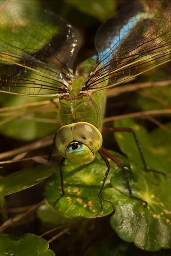 macro texas dragonfly roundrock ringflash greendarner canonef100mmf28usmmacro canoneos30d excapturemacro motleypixel royniswanger