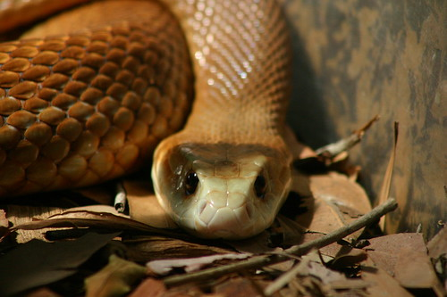 Brown Snake @ Australia Zoo | by chem7