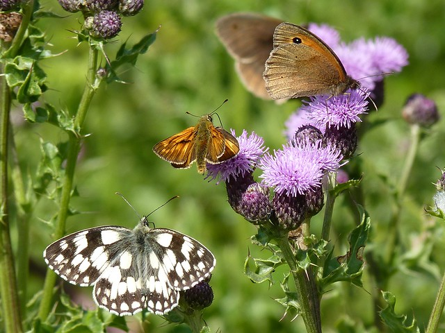 Marbled White, Large Skipper And Meadow Browns