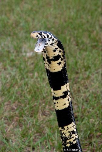 Black Forest Cobra - Naja melanoleuca