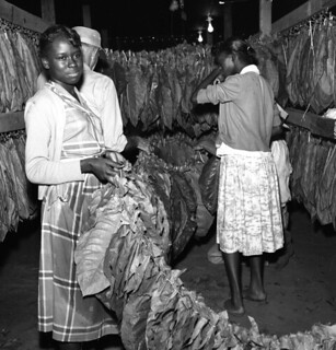 Tobacco workers hanging leaves at Charles Brinks' farm in Quincy
