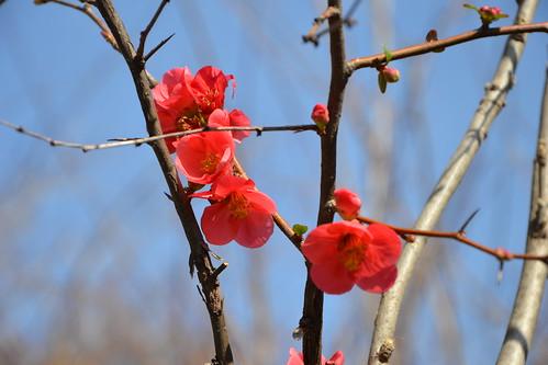 Chaenomeles japonica - cognassier du Japon et hybrides  32605619671_e48eb58df8
