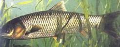 Grass carp | by East Asia & Pacific on the rise - Blog