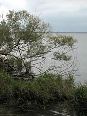B Tree Canal Pettigrew SP 8244