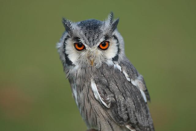 Scotland Owl