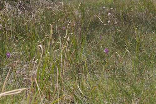 Biotope de Dactylorhiza brennensis - Brenne Orchid   by adrien2008