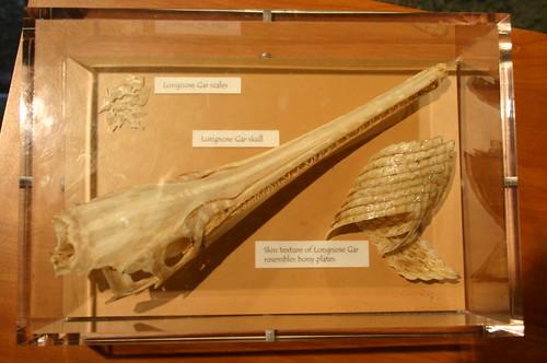 Longnose Gar Scales, Skull, and Skin