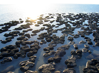 Hamelin Pool stromatolites | by Newhaircut