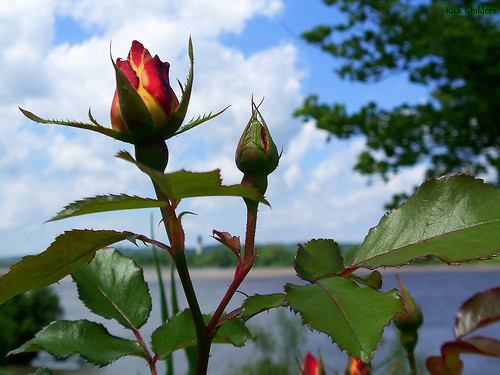blue sky flower macro leaves rose clouds river dof bloom bud thumbsup aw rosebush ohioriver twothumbsup masterphotos rcvernors awesomeblossoms