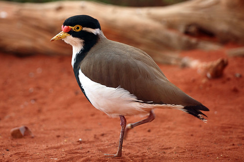 Banded Lapwing | by dmmaus