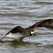 Osprey on the Potomac