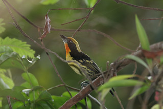 Gilded_Barbet_Explore-Napo_Lodge_Iquitos_PE_2006_12_23_031.jpg | by maholyoak