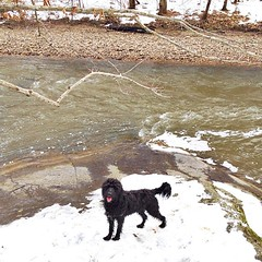 We finally found water that was too cold for this guy. #goldendoodle