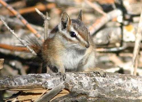 Chipmunk 20081115 | by Kenneth Cole Schneider