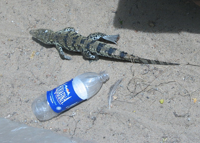 Believe it or not: Its a Croc