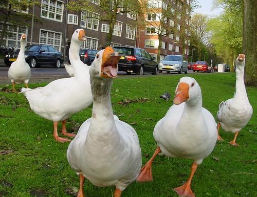 Geese on Valentijnkade | by Daveness_98