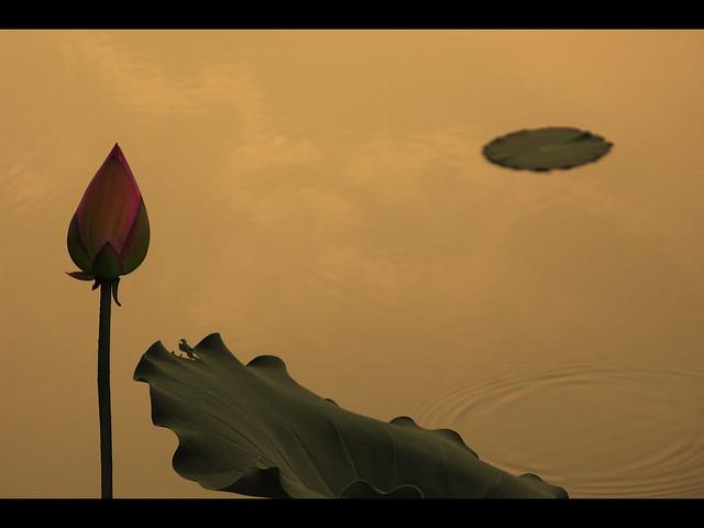 Lotus Bud at Sunset