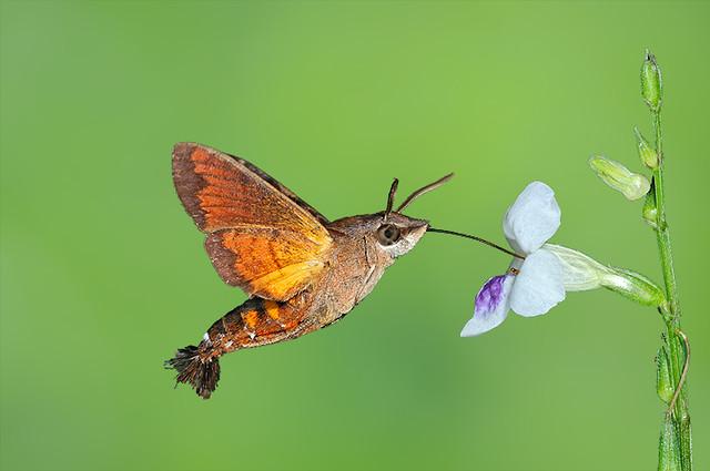 080716 - Hummingbird Hawk-Moth