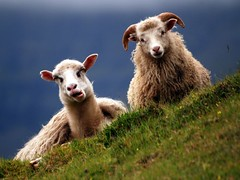 Faroe / sheep | by polandeze