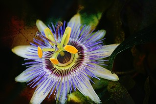 Passion flower | by @Doug88888