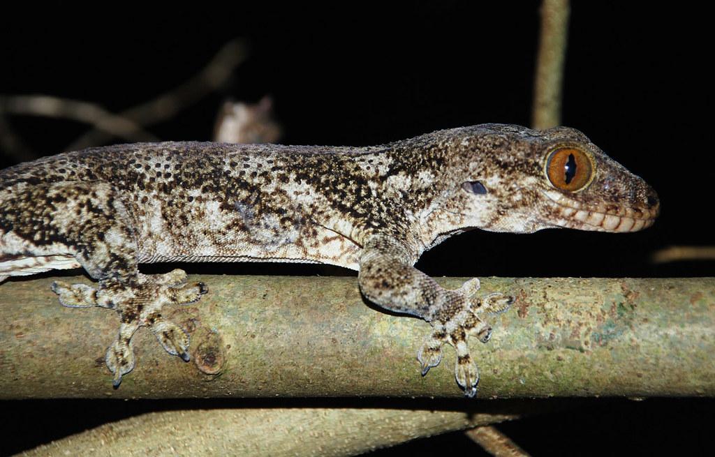 Madagascar velvet gecko (Blaesodactylus boivini), one of t… | Flickr