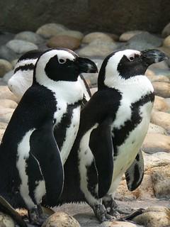 Penguins | by aresauburn™