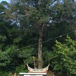 兩百年楓香