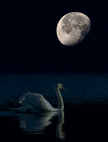 Swans By Moonlight >> Swan By Moonlight Paul Mcconachie Flickr