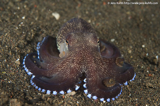 Veined Octopus or Coconut Octopus Amphioctopus marginatus | by jens kuhfs