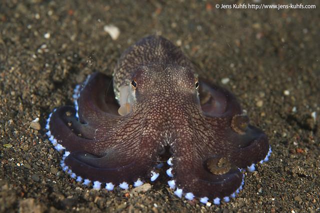 Veined Octopus or Coconut Octopus Amphioctopus marginatus