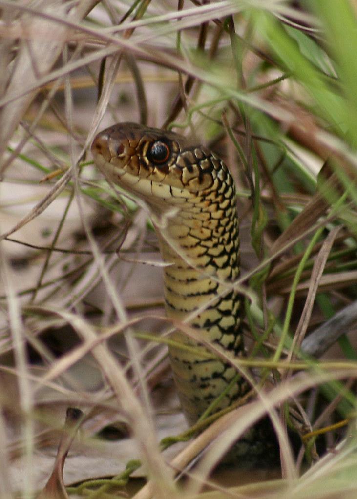 Demansia vestigiata - Lesser Black Whip Snake