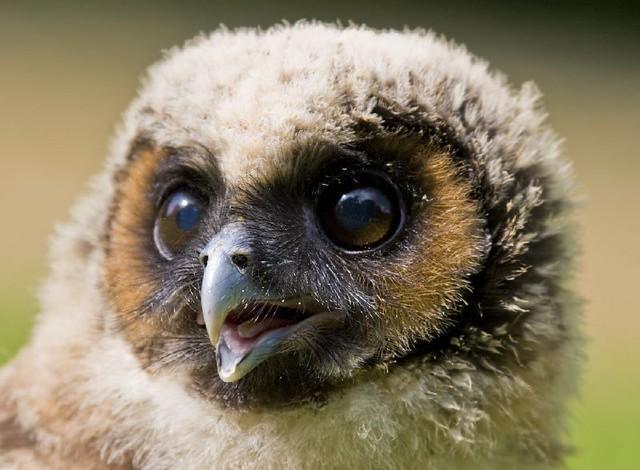 A Baby Malaysian Wood Owl