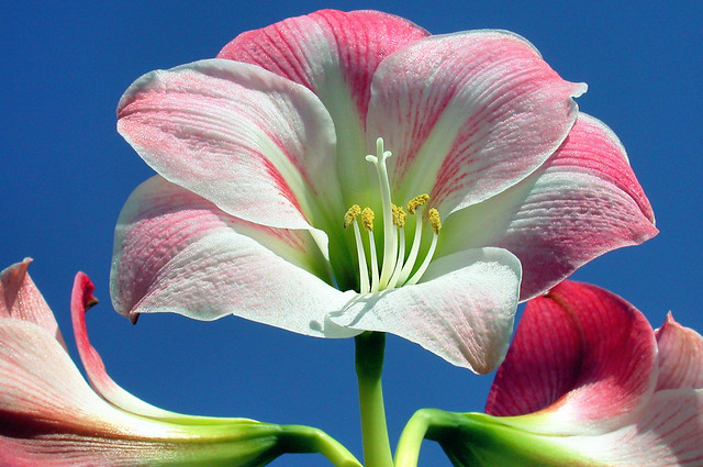 Amaryllis Lily - C95-4-17-08_8726