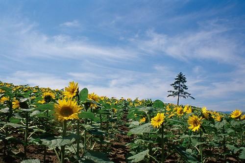 film japan nikon hokkaido kodak sunflowers 北海道 f80 e100vs 向日葵 上富良野 kamifurano 日之出公園