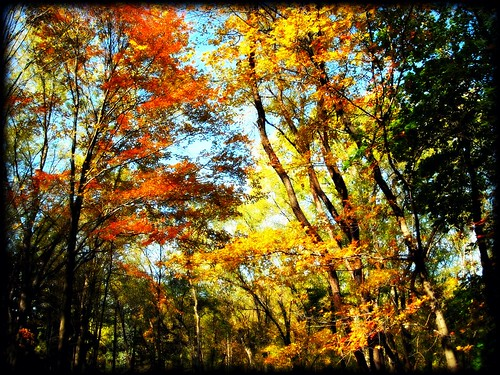 autumn trees orange fall leaves forest golden rainbow woods myyard autumn2008images
