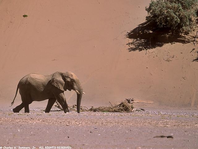 05400-21220 Namib Desert Elephant waking in front of sand dune