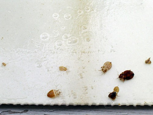 Bed Bugs, Various Sizes