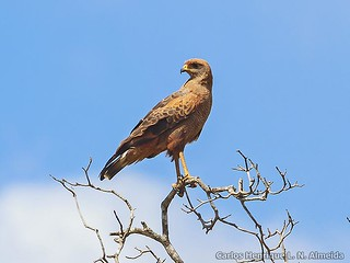 Savanna Hawk | by This Way - Birding Services