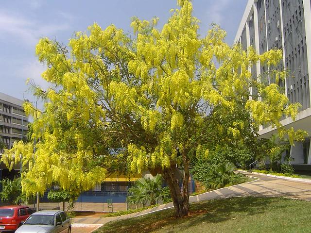 Acácia Imperial ou Chuva de ouro (DCassia ferruginea (Schrad) Schrad ex C)- DSC00320