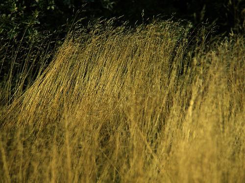 Det varme grasset
