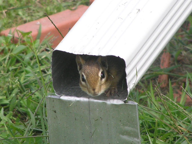 Chipmunk In Downspout - Tamias Striatus