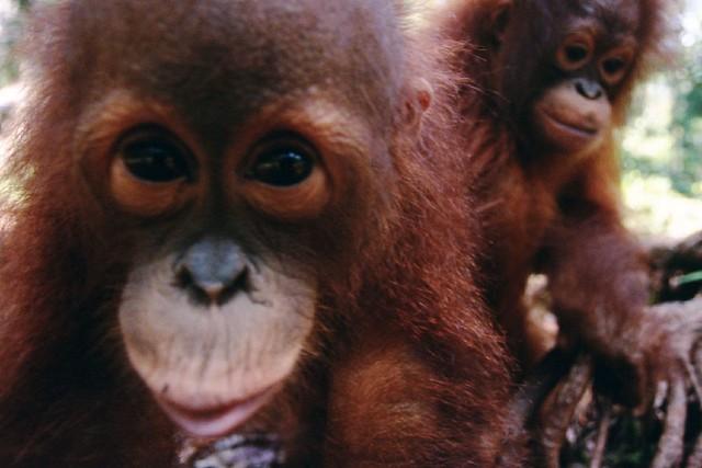 Rescued Orangutans, Palm Oil Orphans