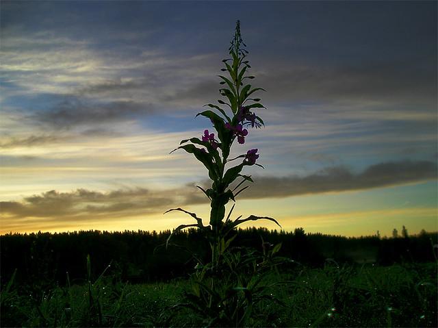 Sunrise behind flower