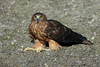 1st-year swamp harrier, circus approximans by Bennolo