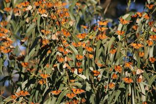 Monarchs on Eucalyptus | by webmink