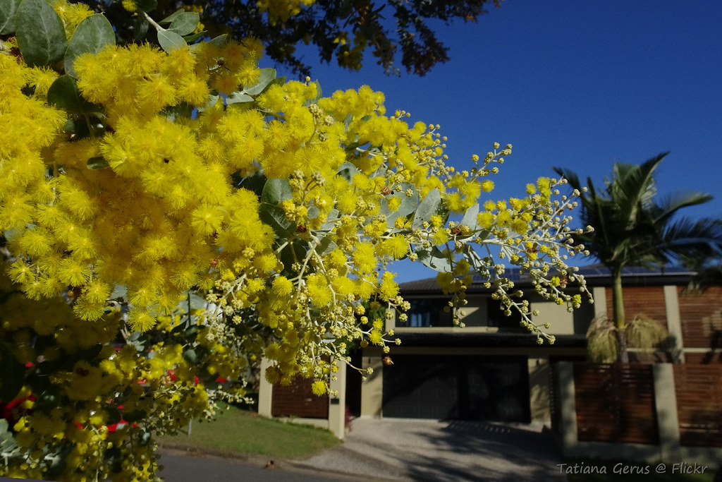 Front Yard Wattle Winter Flowering Acacia Podalyriifolia Flickr